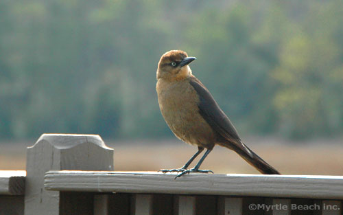 Myrtle Beach photography - Bird at Crab Catchers in Little River